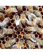 Reines et essaims d'abeilles vers Bourgoin-Jallieu à vendre